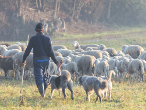 Farmář se stádem ovcí a dvěma psy