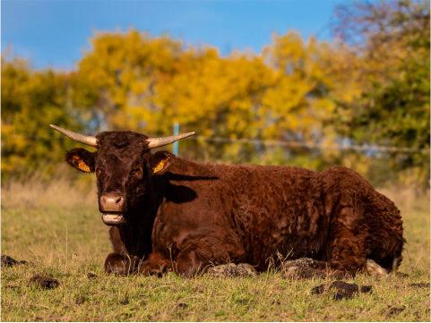 Býk ležící na trávě